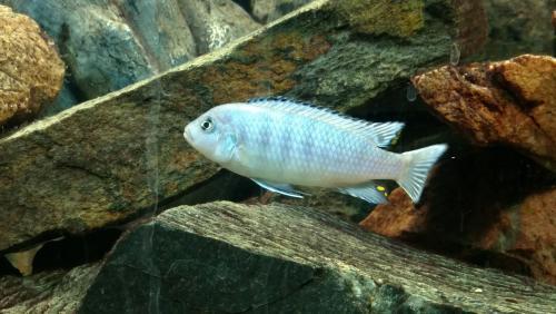 Hembra Aulo fire fish embuchada - last post by Fico.